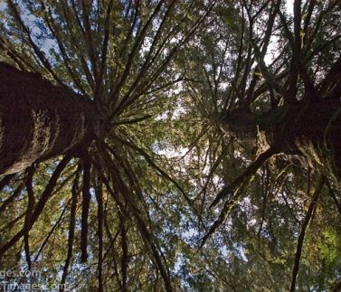 39-Looking up in Trees